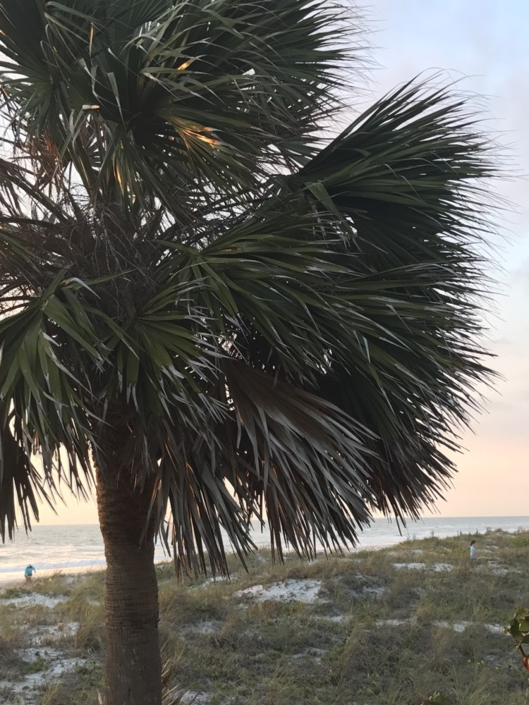 Indian Rocks Florida Family Travel Guide by AL blogger My Life Well Loved // Indian Rocks Beach Restaurants and places to stay from Heather of MyLifeWellLoved.com // palm tree